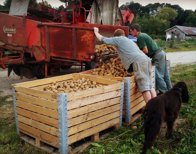 The Potato Harvest at Tablehurst